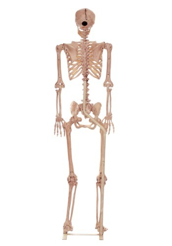 Metal Stand for Lifesize Skeletons